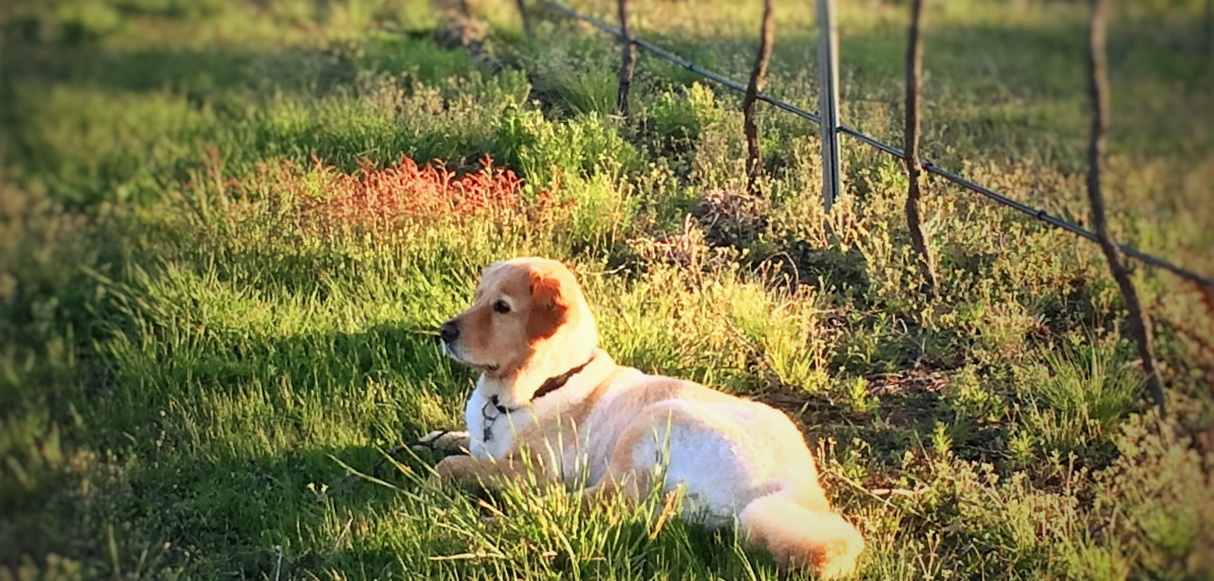 Dog Friendly Wineries Red Hill